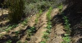 Εντοπίστηκε μια ακόμη φυτεία με εκατοντάδες δενδρύλλια κάνναβης, στα Χανιά (φωτο)
