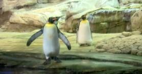 Ομοφυλόφιλοι πιγκουίνοι κλωσούν αυγό