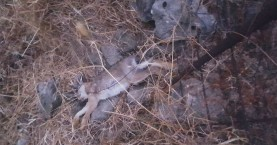 Κυνηγούσε λαγούς με συρματοπαγίδες στο Ρέθυμνο (φωτο)