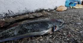 Μεγάλος λαγοκέφαλος πιάστηκε στα αγκίστρια στο Λουτρό Σφακίων (φωτο)