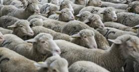 Εδιμβούργο: Μεταλλαγμένα πρόβατα ανατράφηκαν για την καταπολέμηση της νόσου Μπάτεν