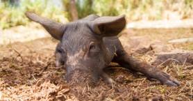 Για πρώτη φορά στην Κρήτη στείρωση σε γουρούνι με ολική αναισθησία (φωτο)