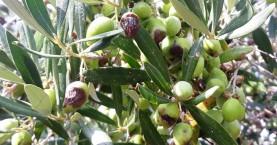 Ο δάκος «έφαγε» το ελαιόλαδο στην Κρήτη – Το αποτελείωσαν οι μύκητες