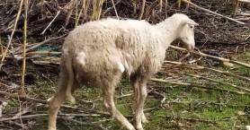 Αδέσποτα σκυλιά του έφαγαν τα πρόβατα (σκληρές εικόνες)