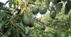 Χανιώτικα αβοκάντο με μοναδική καινοτομία στην παραγωγή εξάγονται στις αραβικές χώρες