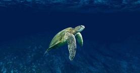 ΑΡΧΕΛΩΝ : Περισσότερες από 700 οι νεκρές θαλάσσιες χελώνες το 2020 στη χώρα μας