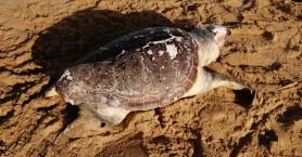 Νεκρή χελώνα ξεβράστηκε στην ακτή (φωτο)