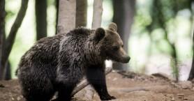 Αλβανία: Εκτός ελέγχου το λαθρεμπόριο άγριων ζώων: Αρκούδες, λύκοι, αετοί πωλούνται online