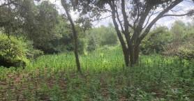 Εξαρθρώθηκε εγκληματική οργάνωση που καλλιεργούσε 3.445 δενδρύλλια κάνναβης