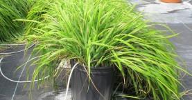Αυτό είναι το φυτό που απωθεί τα κουνούπια