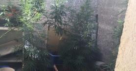 Ηράκλειο: Έκρυβαν 7 χασισόδεντρα ύψους 1,5 μέτρου! (φώτο)