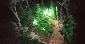 Νυχτερινή έφοδος σε χασισοφυτεία στον Δήμο Χερσονήσου (φωτο)