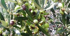 Τι να περιμένουν οι ελαιοπαραγωγοί της Κρήτης για τη ζημιά του 2019;