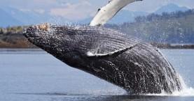 Γκρίζα φάλαινα θεάθηκε για πρώτη φορά στις ακτές της Γαλλίας στη Μεσόγειο
