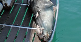Νεκρός από ψαροντούφεκο ο «Κωστής» της Αλλονήσου