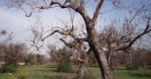 Στο Ευρωδικαστήριο η Ιταλία γιατί δεν ξερίζωσαν τις ελιές με Ξυλέλλα