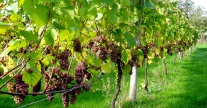 Οδηγίες του Υπ. Αγροτικής Ανάπτυξης για την παραγωγή, εμπορία και αμπελοοϊνικών προϊόντων