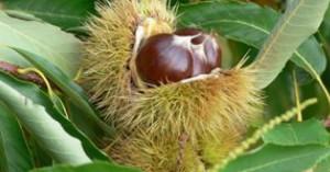 Αποζημιώσεις για την απώλεια παραγωγής καστάνου στην Κίσσαμο