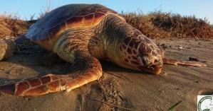 Νεκρή θαλάσσια χελώνα