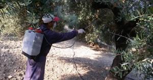Ξεκινά ο 2ος ψεκασμός για τον δάκο στο Ρέθυμνο - Δείτε τις περιοχές