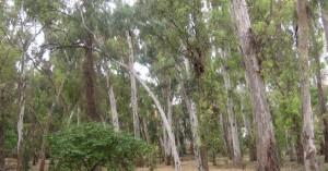 Κόβονται δέντρα λόγω του ξυλοφάγου εντόμου