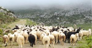 Λασίθι: Τον έπιασαν επ' αυτοφόρω με τα κλεμμένα πρόβατα!