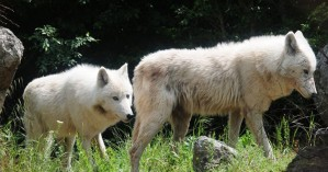Aγέλη έξι λύκων από την Ιταλία μεταφέρθηκε στο Καταφύγιο του ΑΡΚΤΟΥΡΟΥ
