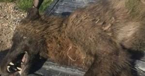 Κυνηγός σκότωσε περίεργο ζώο - Kανείς δεν μπορεί να καταλάβει το είδος του