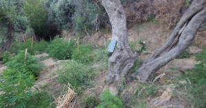 Εκρίζωσαν φυτεία δενδρυλλίων κάνναβης στο Ρέθυμνο - Συλλήψεις ατόμων (φωτο)