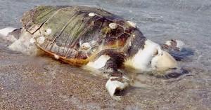 Ηράκλειο: Εντοπίστηκε νεκρή χελώνα καρέτα - καρέτα