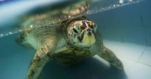 Μεγάλη πράσινη χελώνα πέθανε επειδή κατάπιε πλαστικό