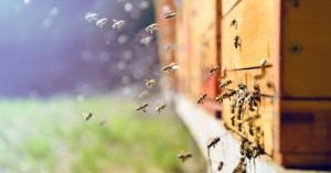 Οι μέλισσες-δολοφόνοι που φτιάχτηκαν από ένα επιστημονικό πείραμα