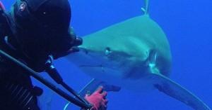 Ατρόμητη δύτης βγάζει αγκίστρι από το στόμα καρχαρία