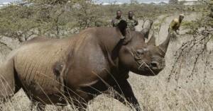 Επτά μαύροι ρινόκεροι πέθαναν στην Κένυα