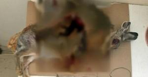 Σύλληψη λαθροθήρα - Έπιανε λαγούς με συρματοπαγίδες (φωτο)