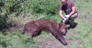 Αρκούδα βρέθηκε σε άσχημη κατάσταση στην Καστοριά