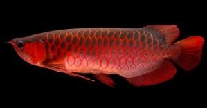 Πώς ένα ψάρι για ενυδρείο κατέληξε να πωλείται 300.000$!