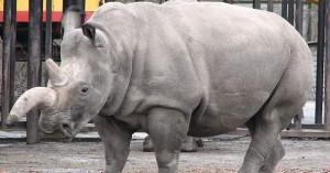 Δημιούργησαν σε εργαστήριο τα πρώτα υβριδικά έμβρυα λευκού ρινόκερου