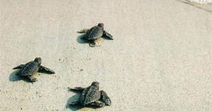 Δημόσιες εκσκαφές για χελωνάκια καρέτα καρέτα στο Ρέθυμνο