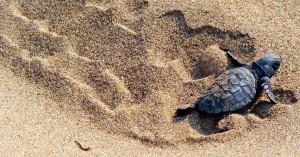 Ήρθαν τα πρώτα χελωνάκια στα Χανιά