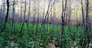 Φυτεία με 765 δενδρύλλια κάνναβης βρέθηκε στη Μαλακάσα