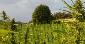 Λακωνία: Καλλιεργούσε κάνναβη για να... κάνει την προίκα του