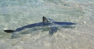 Μικρός καρχαρίας εμφανίστηκε στα ρηχά παραλίας στην Κρήτη (φωτο)