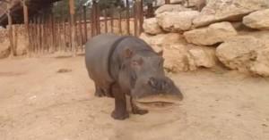 «Έφυγε» στα 59 του χρόνια ο γηραιότερος ιπποπόταμος σε αιχμαλωσία