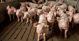 Ισπανία: Ανησυχία καθώς οι χοίροι ξεπερνούν τον αριθμό των κατοίκων