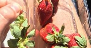 Οι ειδικοί για τις φράουλες στην Αυστραλία: Γιατί κάποιος «χώνει» βελόνες