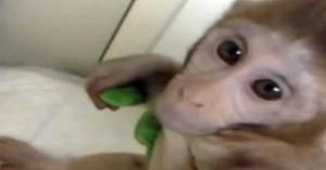 Εικόνες από κρυμμένες κάμερες δείχνουν πόσο υποφέρουν τα μαϊμουδάκια