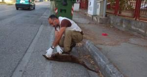 Αυτοκίνητο χτύπησε και σκότωσε βίδρα μέσα στην Καστοριά