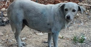 Σόκ! Έβαψαν σκυλίτσα με μπλε χρώμα (φωτο)