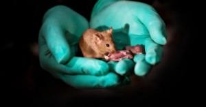 Αυτά είναι τα πρώτα υγιή ποντίκια από γονείς ιδίου φύλου